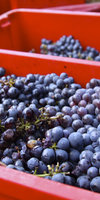 08_freshly_harvested_grapes